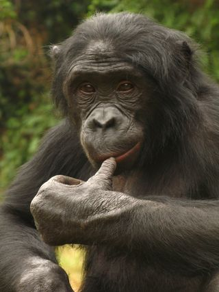 Bonobos Rate Food on Scale From Bark to Grunt